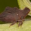 Peru 2014: Tamshiyacu-Tahuayo Reserve - Treehopper (Membracidae: Stegaspidinae: Stegaspis insignis)
