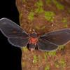 Peru 2014: Tamshiyacu-Tahuayo Reserve - Moth Derbid (Derbidae: Derbinae: Mysidiini)