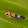 Peru 2014: Tamshiyacu-Tahuayo Reserve - Sharpshooter (Cicadellidae: Cidadellinae: Cicadellini: Tettisama bisellata)