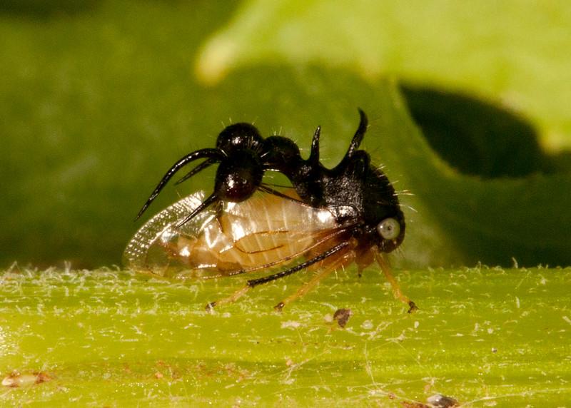 Peru 2014: Tamshiyacu-Tahuayo Reserve - Ant-mimicing Treehopper (Membracidae: Smiliinae: Ceresini: Cyphonia clavata)