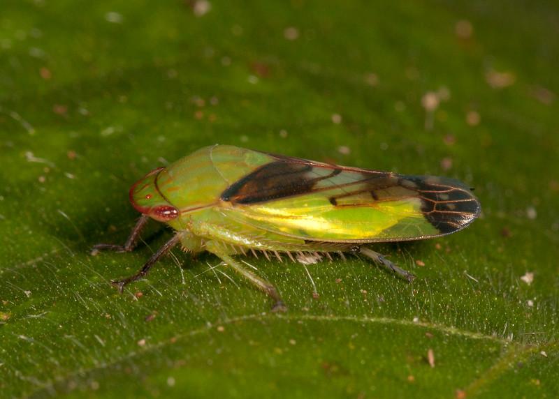 Peru 2014: Tamshiyacu-Tahuayo Reserve - Leafhopper (Cicadellidae: Gyponinae)