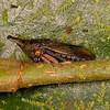 Costa Rica 2015: La Selva - Treehopper (Membracidae: Membracinae: Aconophorini)