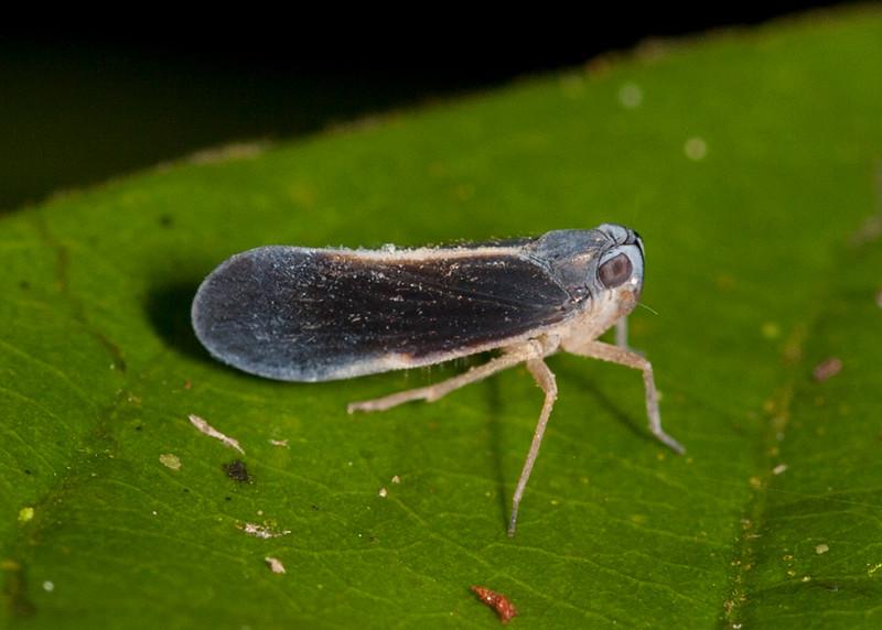 Peru 2014: Tamshiyacu-Tahuayo Reserve - Derbid Planthopper (Derbidae: probably Cedusa sp.)