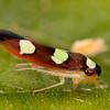 Peru 2014: Tamshiyacu-Tahuayo Reserve - Sharpshooter (Cicadellidae: Cicadellinae: Cicadellini: Erythrogonia onerata)