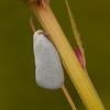 Peru 2014: Tamshiyacu-Tahuayo Reserve - Flatid Planthopper (Flatidae)