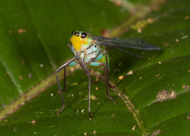 Peru 2014: Tamshiyacu-Tahuayo Reserve - Dictyopharid Planthopper (Dictyopharidae: Dictyopharinae: Taosini: probably Taosa sp.)