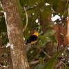 Peru 2014: Tamshiyacu-Tahuayo Reserve -  Wire-tailed Manakin (Pipridae: Pipra filicauda)