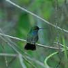 Costa Rica 2010: Osa - Probably a Mangrove Hummingbird (Apodiformes: Trochilidae: Amazilia boucardi)