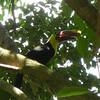 Costa Rica 2013: Uvita - 382 Chestnut-mandibled Toucan (Ramphastidae: Ramphastos ambiguus swainsonii)