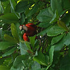 Costa Rica 2010: Osa - Scarlet Macaw (Psittacidae: Arinae: Arini: Ara macao) in Corcovado N.P.