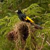 Peru 2014: Tamshiyacu-Tahuayo Reserve - Yellow-rumped Cacique (Icteridae: Cacicus cela)