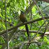 Costa Rica 2013: Uvita - 458 Blue-crowned Motmot (Momotidae: Momotus momota)