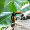 Costa Rica 2013: Uvita - 570 Fiery-billed Aracari (Ramphastidae: Pteroglossus frantzii)
