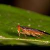 Costa Rica 2013: Uvita - 327 Wasp-mimicing Woodockroach (Ectobiidae: Pseudophyllodromiinae: Pseudophyllodromia sp.)