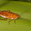 9458 Mapua Waterwheel Cottage Golden Cockroach nymph (Blattidae Drymaplaneta heydeniana)