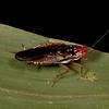 Peru 2014: Tamshiyacu-Tahuayo Reserve - Woodroach (Ectobiidae: Pseudophyllodromiinae: Euphyllodromia sp.)