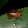 Peru 2012: Rio Madre de Dios - 046 Pleasing Fungus Beetle (Erotylidae: Erotylinae: Elliptcus [=Homoeotelus] sp.)