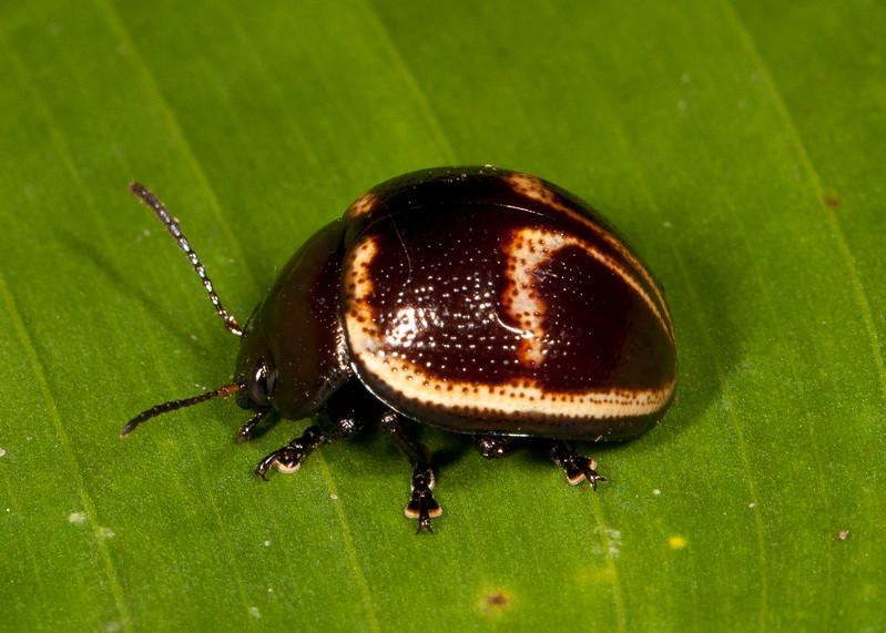 Belize 2017: Cotton Tree Lodge - Leaf Beetle (Chrysomelidae: Chrysomelinae: Chrysomelini: Platyphora cf. bicolor)