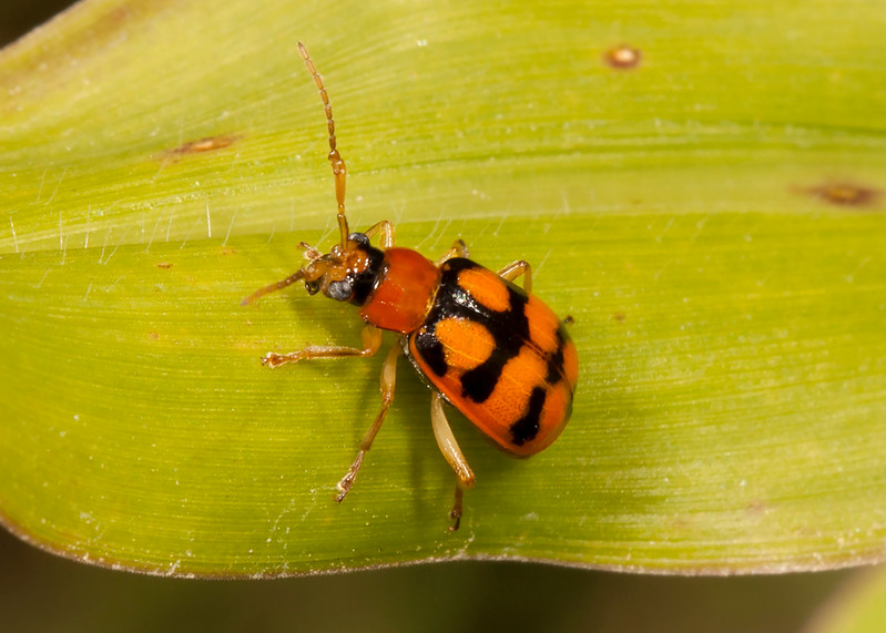 Belize 2017: Cotton Tree Lodge - Flea Beetle (Chrysomelidae: Galerucinae: Diabrotica cf. gratiosa)