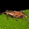 Peru 2012: Rio Madre de Dios - 113 Bromeliad or Cane Weevil (Curculionidae: Dryophthorinae: Rhynchophorini: Metamasius sp.)