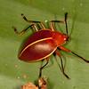 Peru 2012: Rio Madre de Dios - 102 Pleasing Fungus Beetle (Erotylidae: Erotylinae: Ellipticus [=Homoeotelus] d´orbignyi)