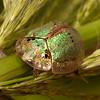 Belize 2017: Cotton Tree Lodge - Tortoise Beetle (Chrysomelidae: Cassidinae: Ischyrosonychini: Physonota alutacea)