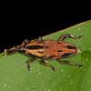 Peru 2012: Rio Madre de Dios - 112 Bromeliad or Cane Weevil (Curculionidae: Dryophthorinae: Rhynchophorini: Metamasius sp.)