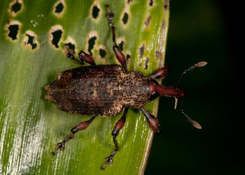 Peru 2012: Rio Madre de Dios - 171 Weevil (Curculionidae)