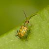 Peru 2012: Rio Madre de Dios - 159 159 Cucumber Beetle (Chrysomelidae: Galerucinae: Luperini: Diabrotica speciosa speciosa)
