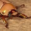 Belize 2017: Cotton Tree Lodge - Scarab (Scarabaeidae: Rutelinae: Pelidnota cf. perplexa)