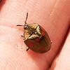 Belize 2017: Cotton Tree Lodge - Tortoise Beetle (Chrysomelidae: Cassidinae: Cyrtonota tristigma)