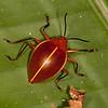 Peru 2012: Rio Madre de Dios - 101 Pleasing Fungus Beetle (Erotylidae: Erotylinae: Ellipticus [=Homoeotelus] d´orbignyi)