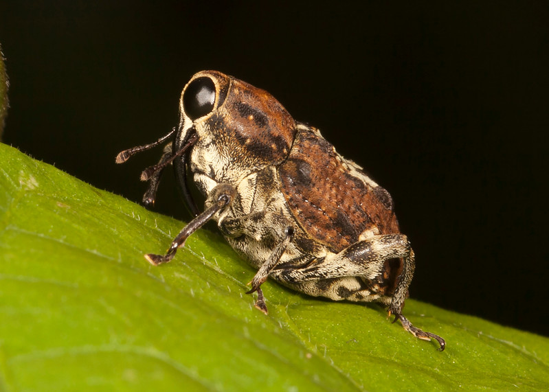 Belize 2017: Cotton Tree Lodge - Hidden-snout Weevil (Curculionidae: Conoderinae)