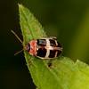 Peru 2012: Rio Madre de Dios - 167 Flea Beetle (Chrysomelidae: Galerucinae: Alticini: possibly Asphaera sp.)
