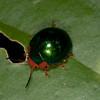 Peru 2012: Rio Madre de Dios - 051 Leaf Beetle (Chrysomelidae: Chrysomelinae: probably Doryphorini: Platyphora sp.)
