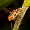 Belize 2017: Cotton Tree Lodge - Hover Flies (Syrphidae: Syrphinae: Toxomerus sp.)
