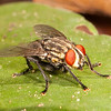 Belize 2017: Hickatee Cottages - Flesh Fly (Sarcophagidae)