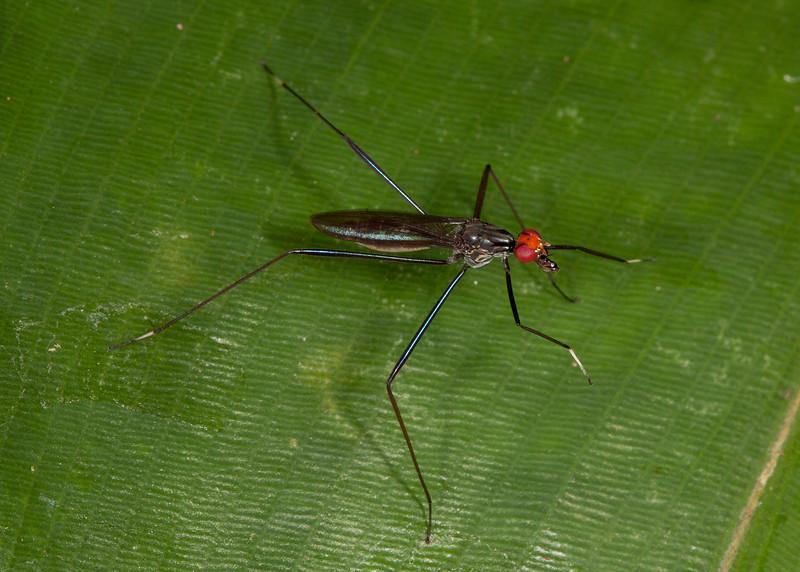 Costa Rica 2013: Dominical - 164 Stilt-legged Fly (Micropezidae: Taeniapterinae: possibly Pseudeurybata sp.)