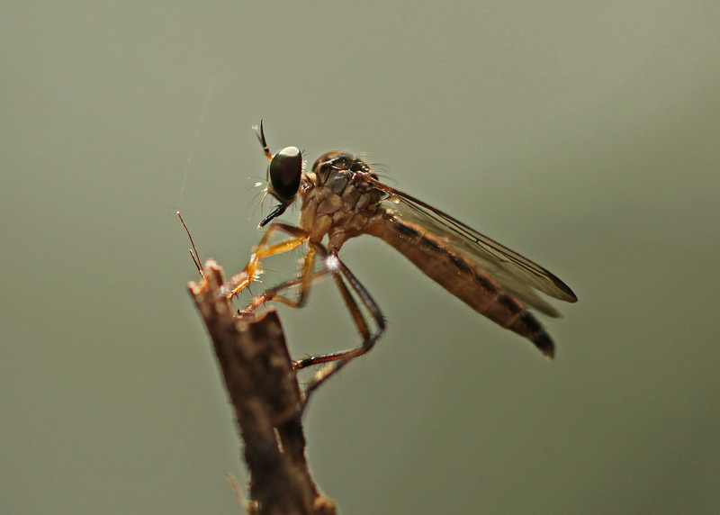 Ecuador 2012: Sacha Lodge - Unidentified Robber Fly (Asilidae)
