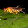 Peru 2014: Tamshiyacu-Tahuayo Reserve - Stilt-legged Fly (Micropezidae: Taeniapterinae: probably Poecilotylus sp.)
