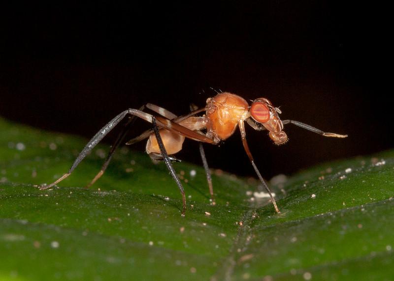 Costa Rica 2013: Uvita - 229 Stilt-legged Fly (Micropezidae: Taeniapterinae: possibly Ptilosphen sp.)