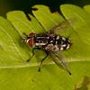 Honduras 2016: Pico Bonito - Unidentified Tachinid  fly (Tachinidae)