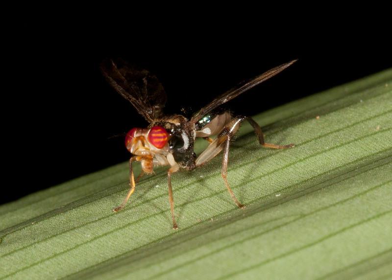 Costa Rica 2013: Dominical - 180 Richardiid Fly (Richardiidae: Richardiinae: probably Richardia sp.)