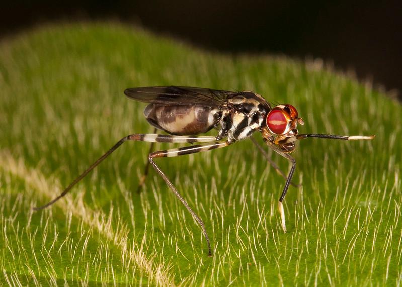 Belize 2017: Hickatee Cottages - Stilt-legged Fly (Micropezidae)