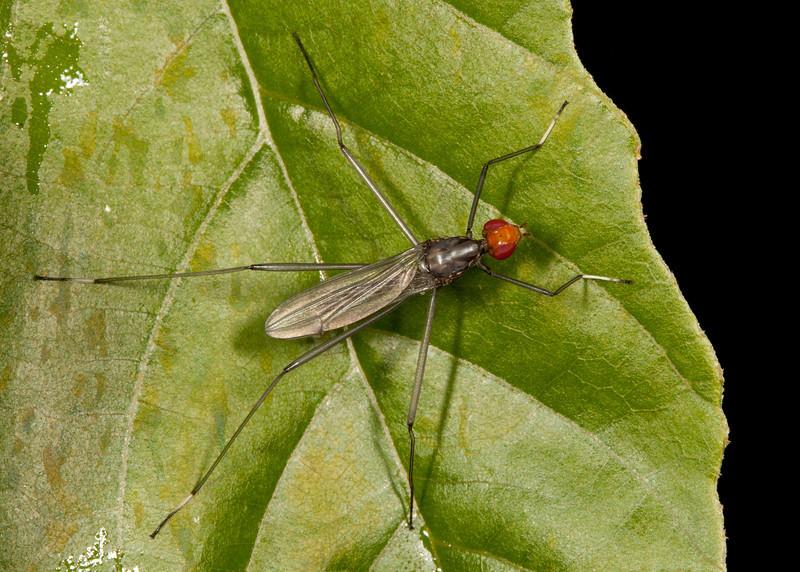 Costa Rica 2013: Dominical - 430 Stilt-legged Fly (Micropezidae: Taeniapterinae: possibly Pseudeurybata sp.)