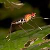 Honduras 2016: Pico Bonito - Stilt-legged Fly (Micropezidae: Taeniapterinae: Ptilosphen cf. variolatus)