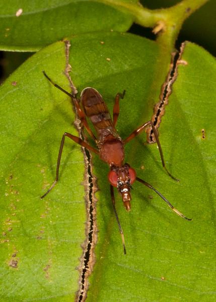 Peru 2014: Tamshiyacu-Tahuayo Reserve - Stilt-legged Fly (Micropezidae: Taeniapterinae: probably Plocoscelus sp.; possibly Cardiacephala sp.)