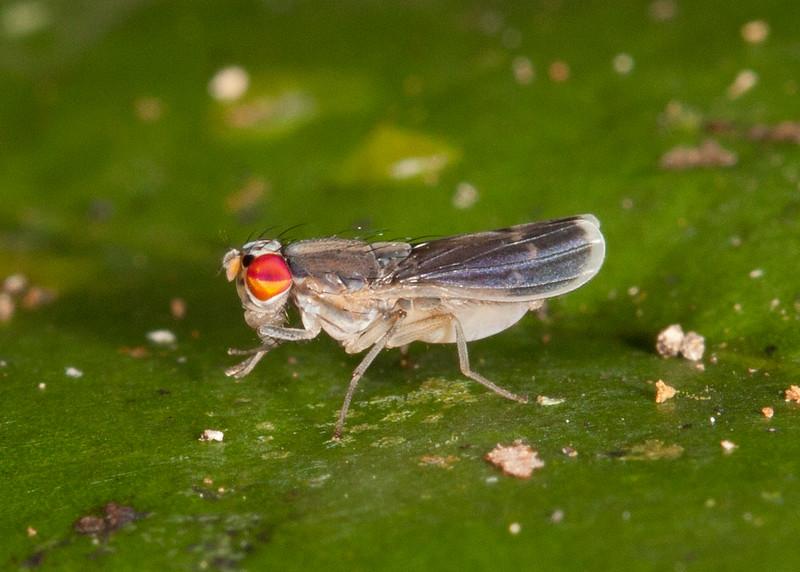 Peru 2014: Tamshiyacu-Tahuayo Reserve - Probably a Lauxaniid Fly (Lauxaniidae)