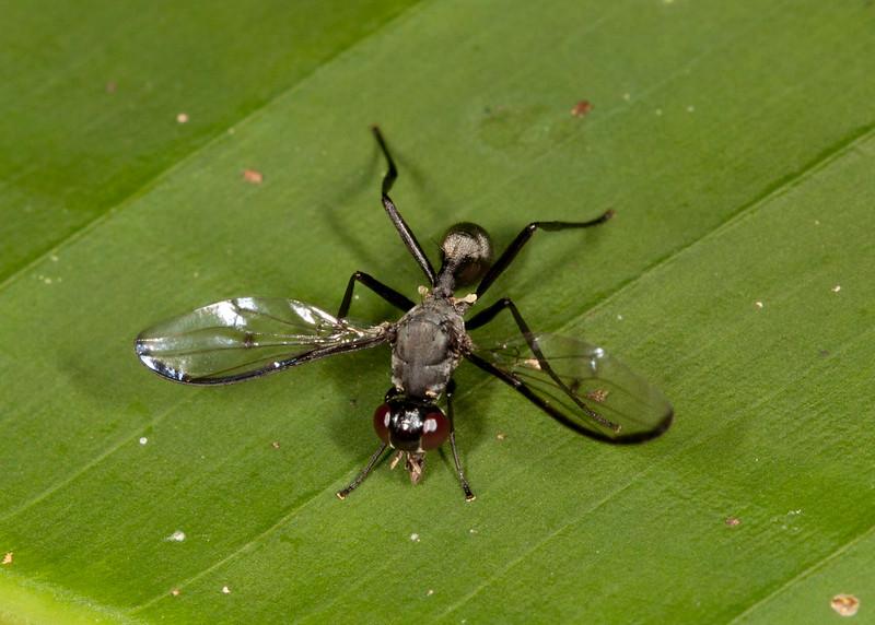 Peru 2012: Rio Madre de Dios - 097 Richardiid fly (Richardiidae: Setellia sp.)