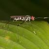 Ecuador 2012: Mindo - Stilt-legged Fly (Micropezidae: Taeniapterinae: near Poecilotylus sp.)